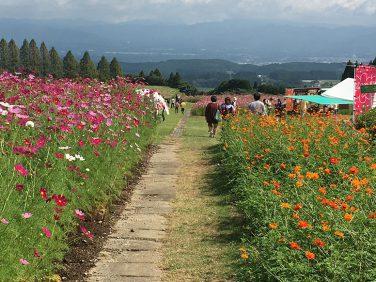 生駒高原コスモス祭り
